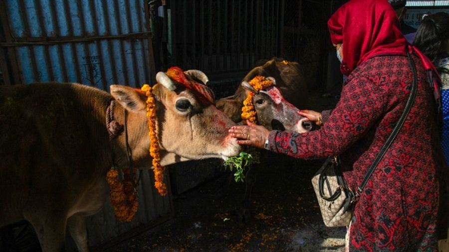 As part of its cow protection campaign, the Uttar Pradesh government also announced it is rapidly scaling up the number of cow shelters to deal with stray cattle.