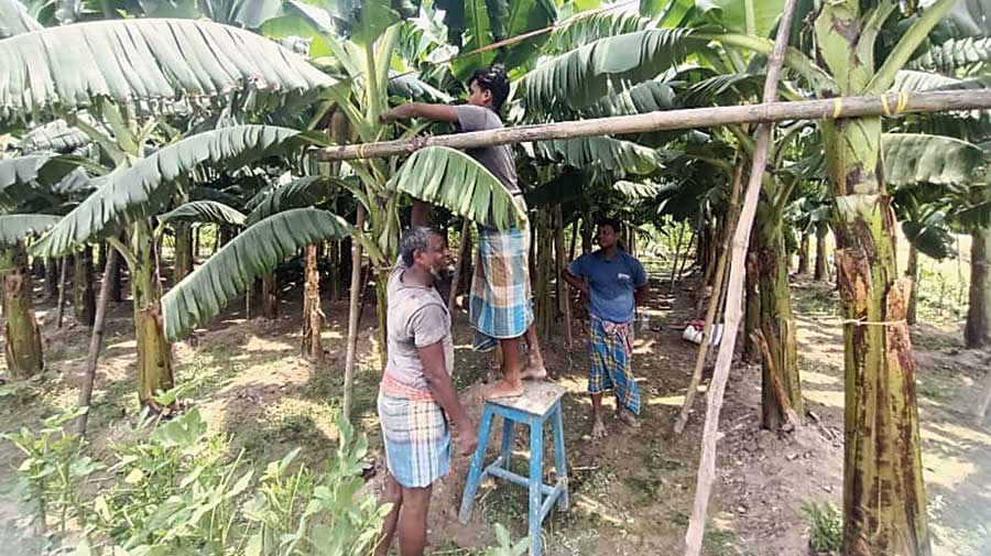 Sirajul Islam Goldar (left) and other farmers in Bhangar tie banana plants to an improvised bamboo structure so that the trees are not blown away by Cyclone Yaas.