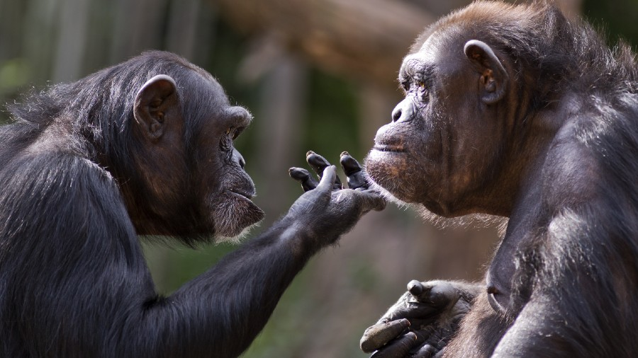 A chimpanzee checks out the chin of another chimp