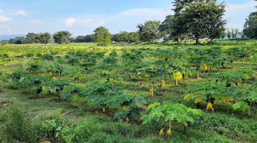 Red lady 786 Taiwan papaya in the field of Ujjawal Lakra in Mahuadanr