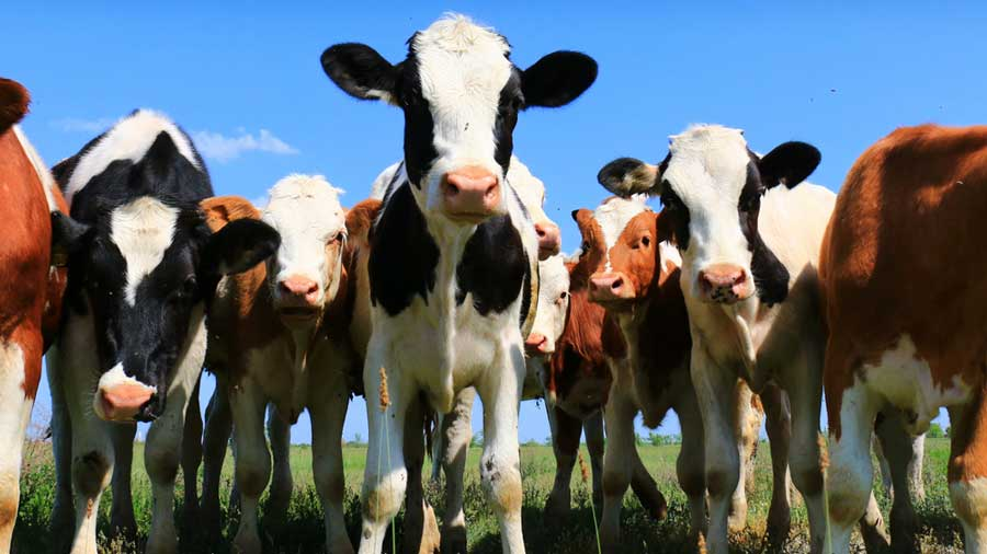 Scientists reveal opportunity to harness cognitive capacities of cattle