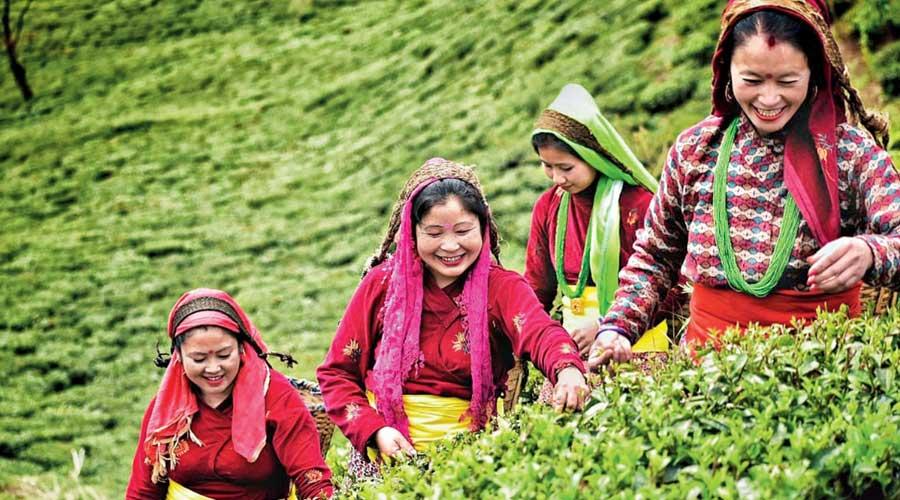 A tea estate in the Darjeeling hills.
