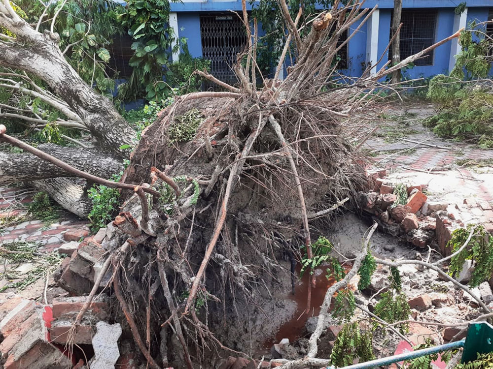 An uprooted tree on the campus