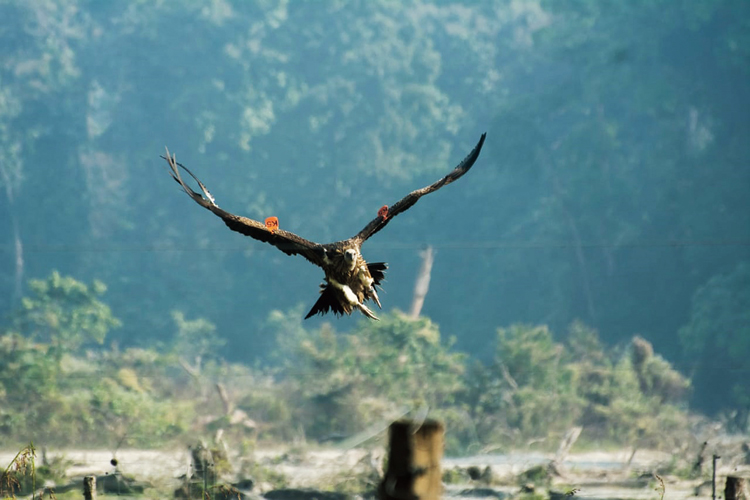 One of the six vultures after being released in Rajabhatkhawa, Alipurduar, on Tuesday morning