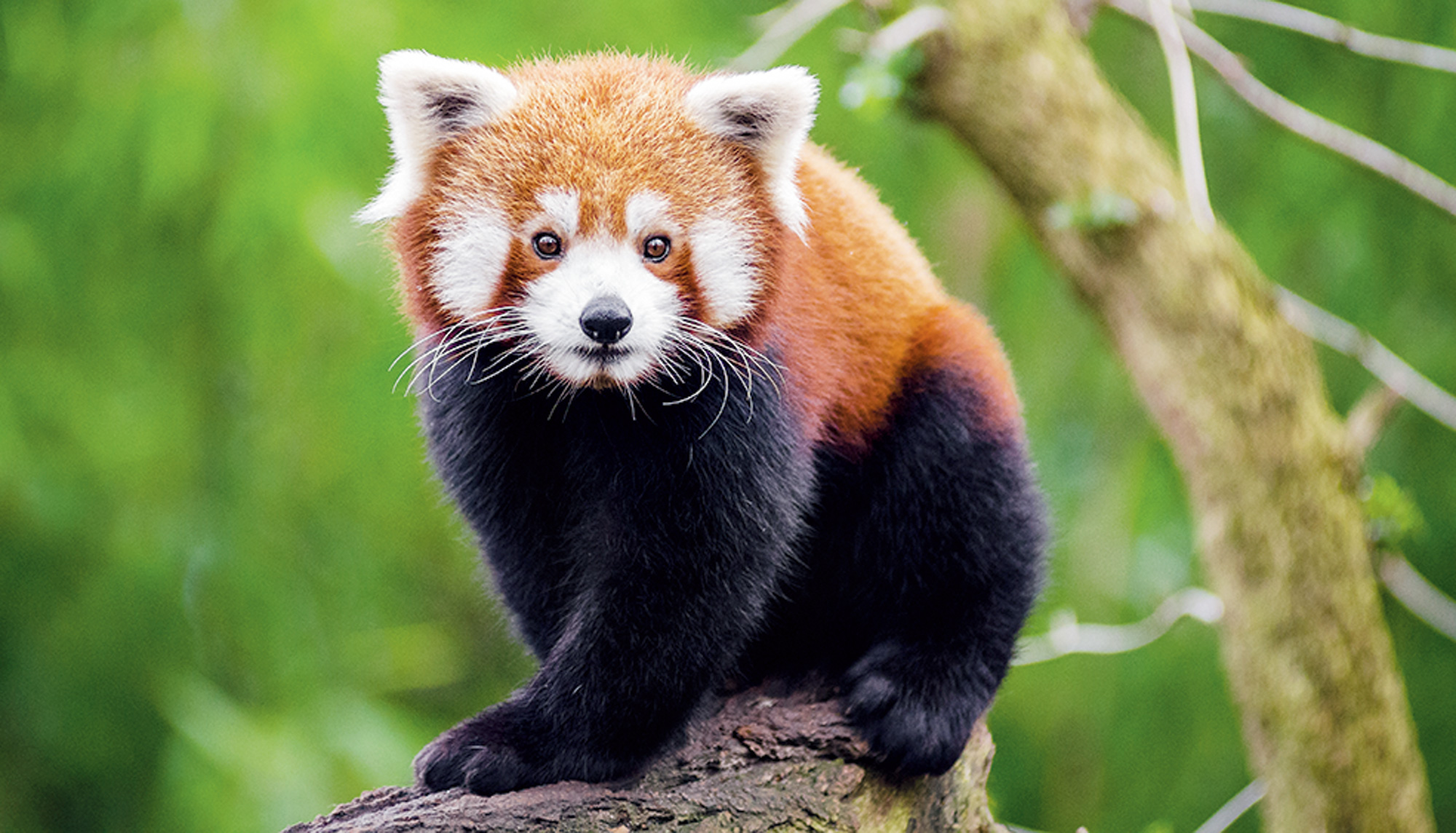 The red panda has been classified as 'vulnerable' by the International Union for Conservation of Nature Red List of Threatened Species