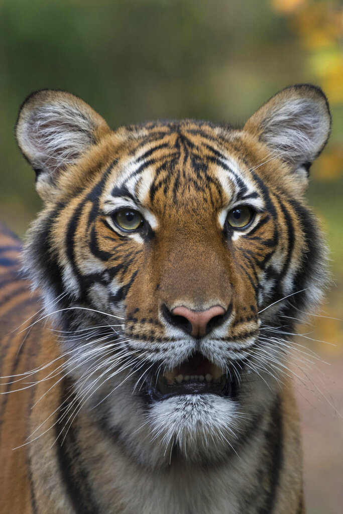 This photo provided by the Wildlife Conservation Society shows Nadia, a Malayan tiger at the Bronx Zoo in New York. Nadia has tested positive for the new coronavirus