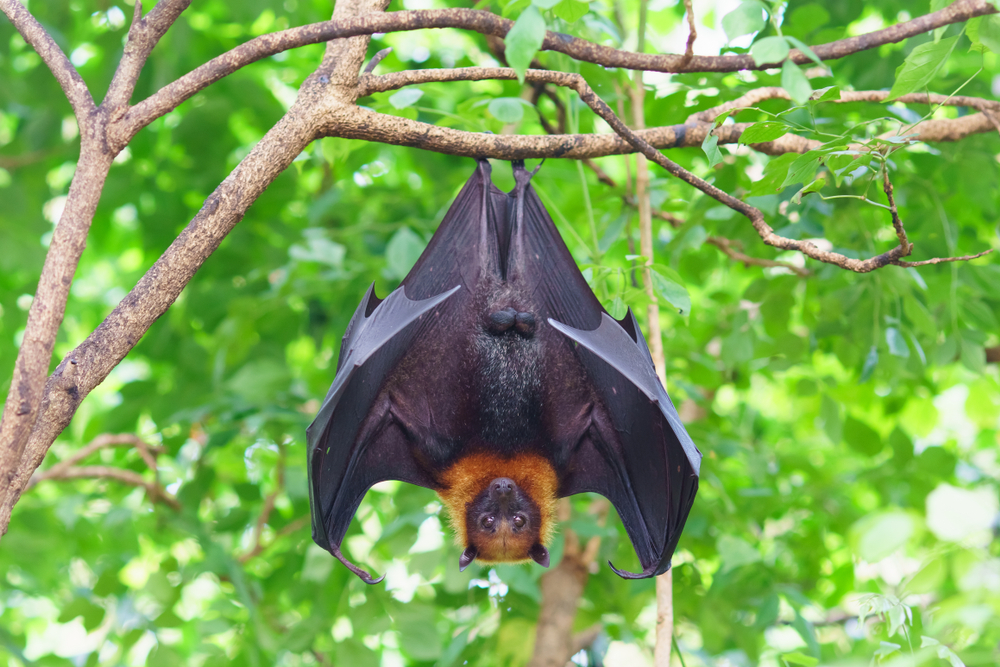 Bats cling to a Banyan tree