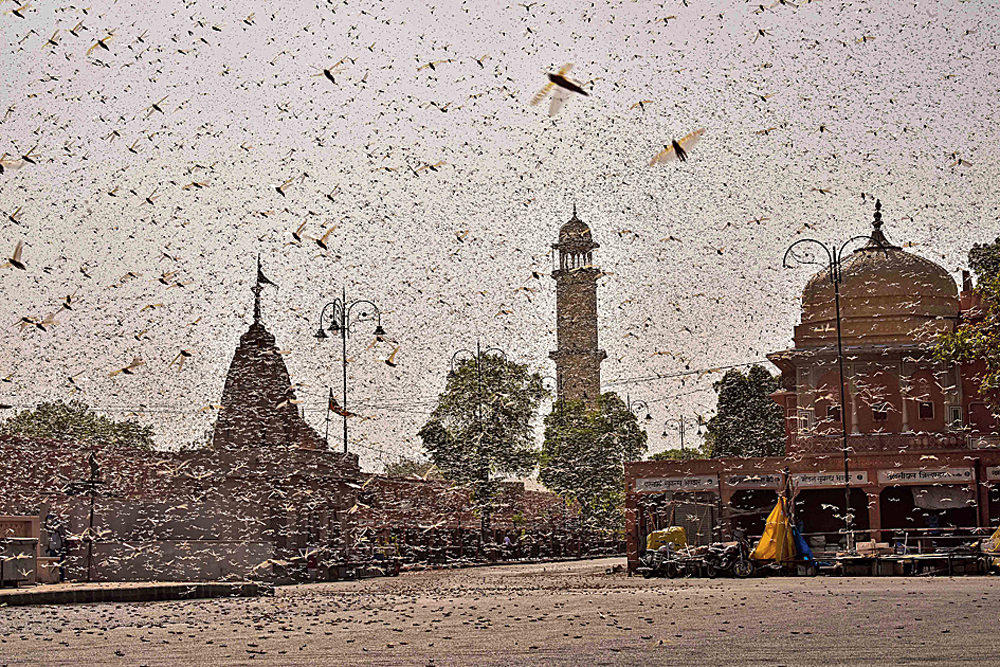 Swarms of locust in Jaipur on Monday. Desert locusts — riding on winds and transformed by a neurochemical called serotonin from harmless solitary creatures into gregarious swarms — arrive in India almost every year.