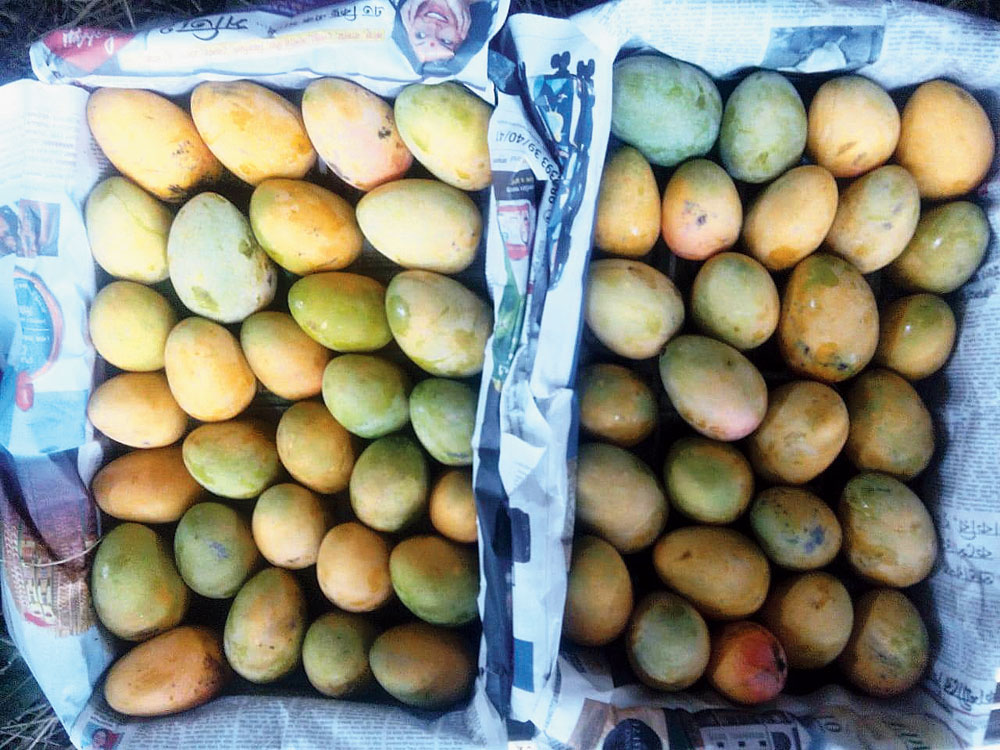 Mangoes packed for sale in Malda