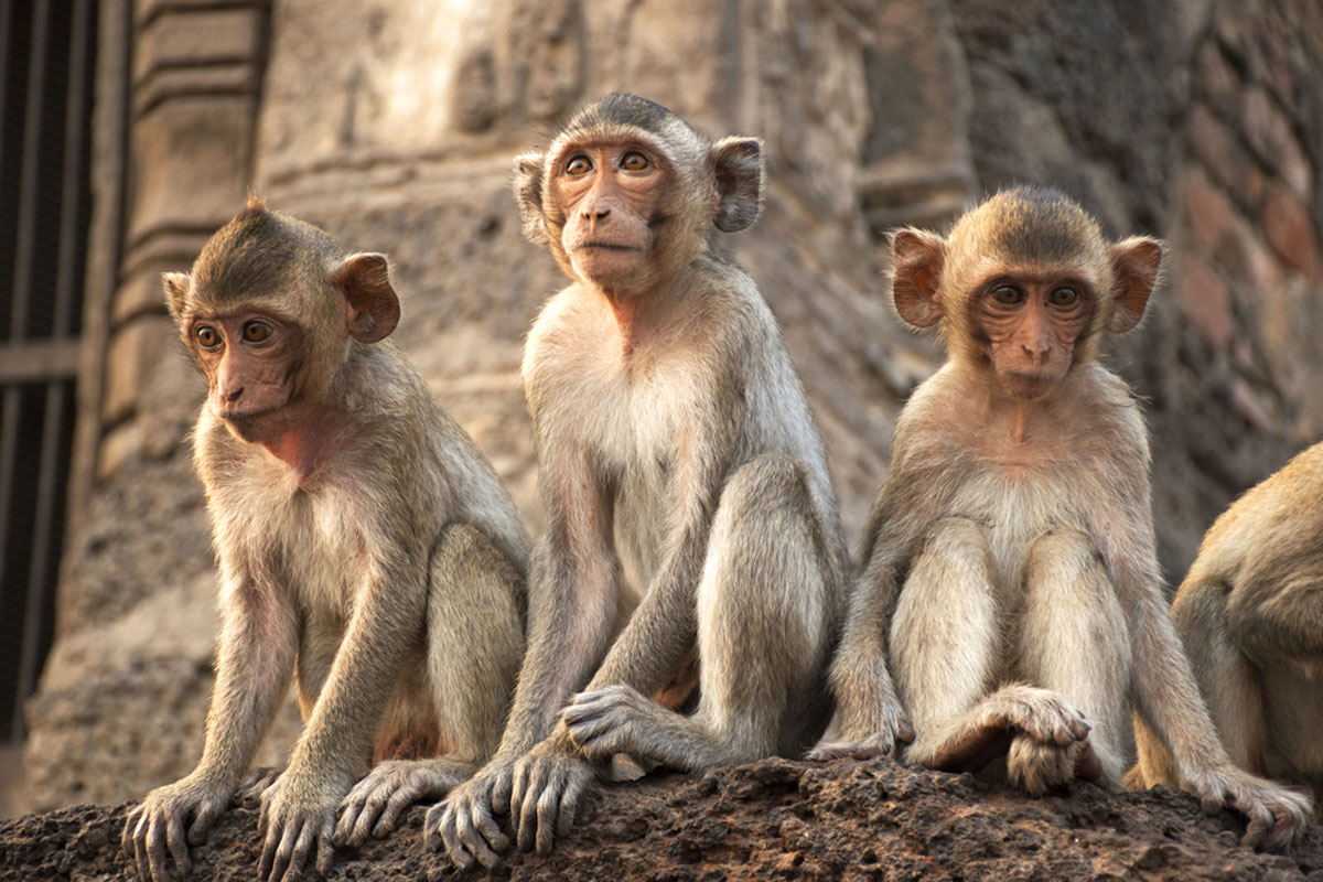 FIR against monkeys for stoning man to death