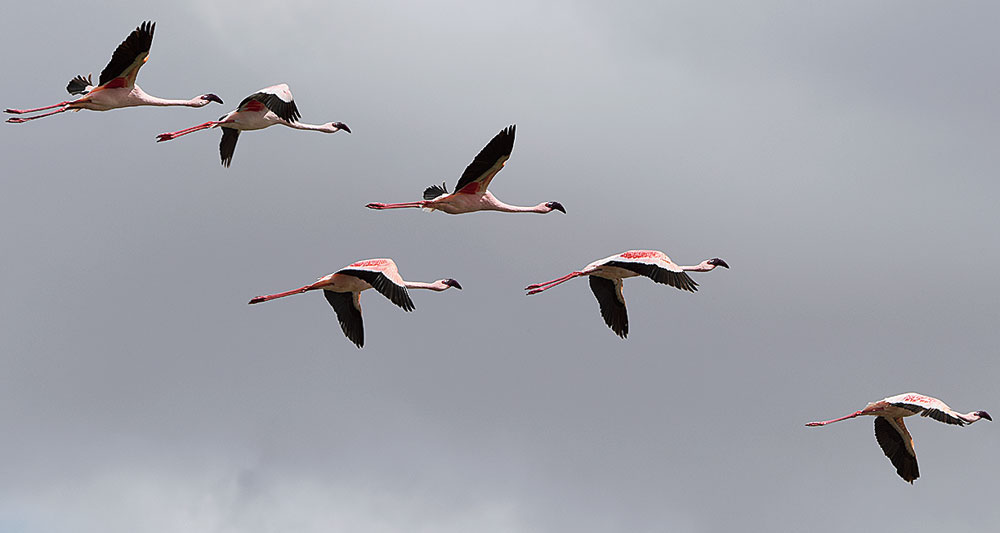 Lesser flamingos in flight in Amboseli. They have this beautiful pink.