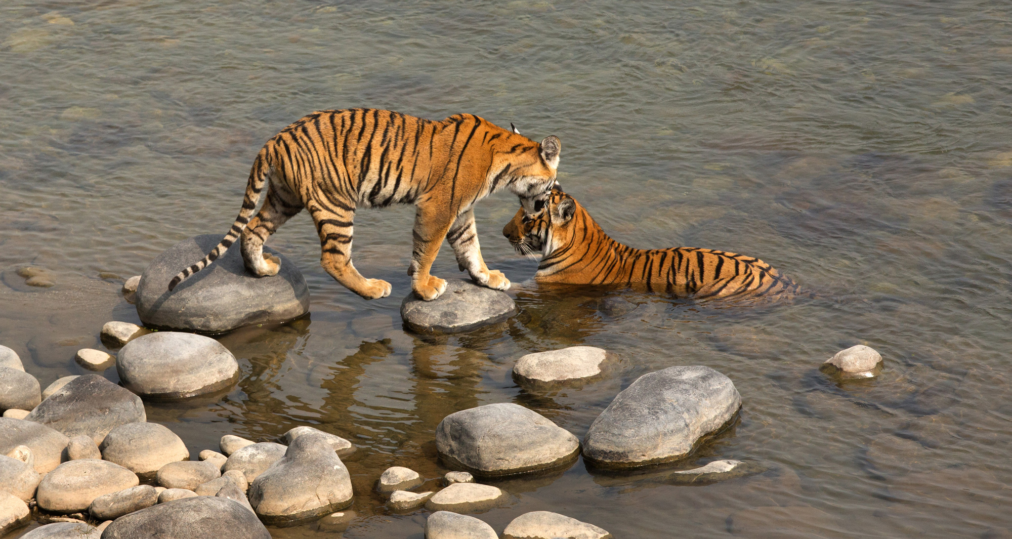 A tigress cub walking to its mother at the Jim Corbett Tiger Reserve in Uttarakhand