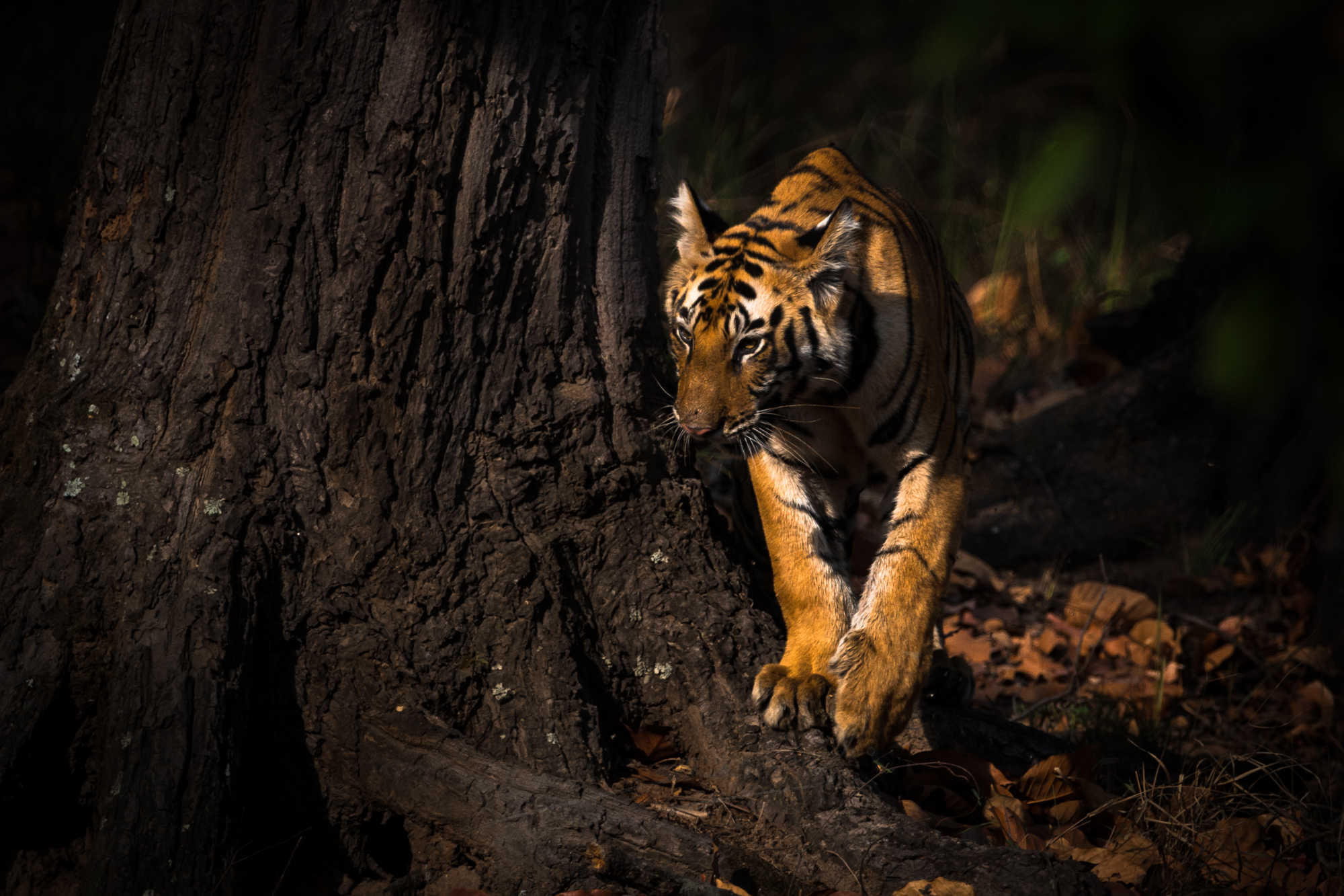 Tiger cubs are extremely curious. They like to explore every bit of their surroundings, such as this this 10 month old cub. Location: Bandhavgarh