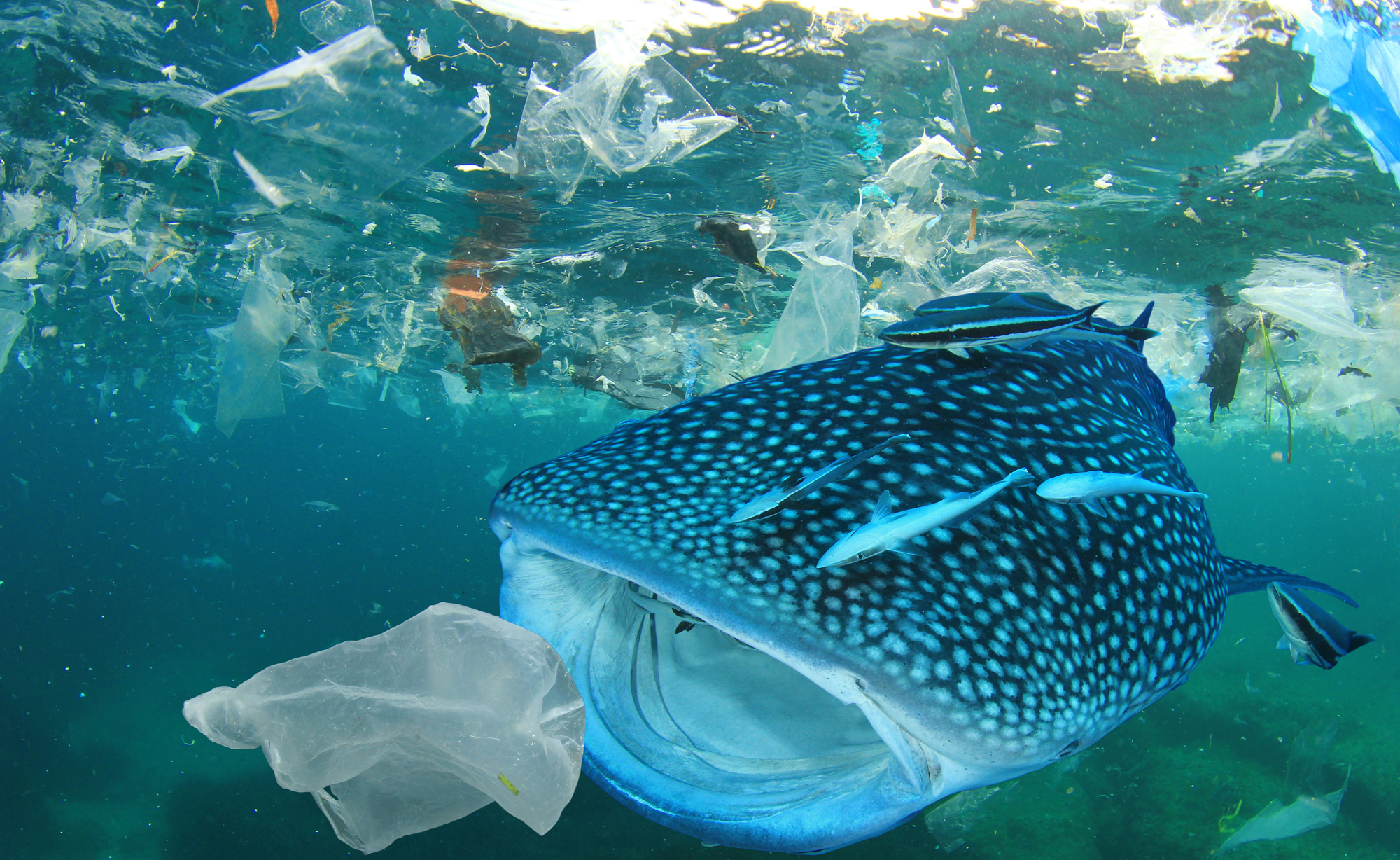 A whale shark about to swallow a piece of plastic. Scientific disposal of waste can help avoid deadly mishaps