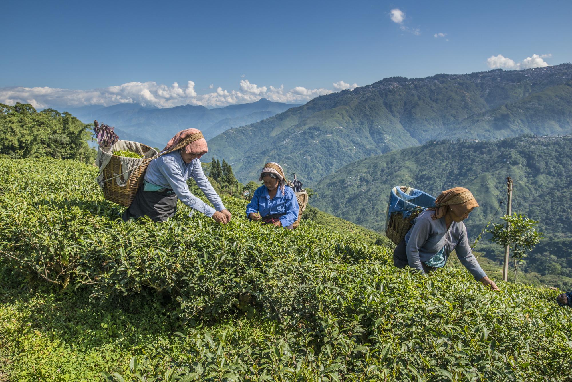 Women plucking tea on a tea estate near Darjeeling.