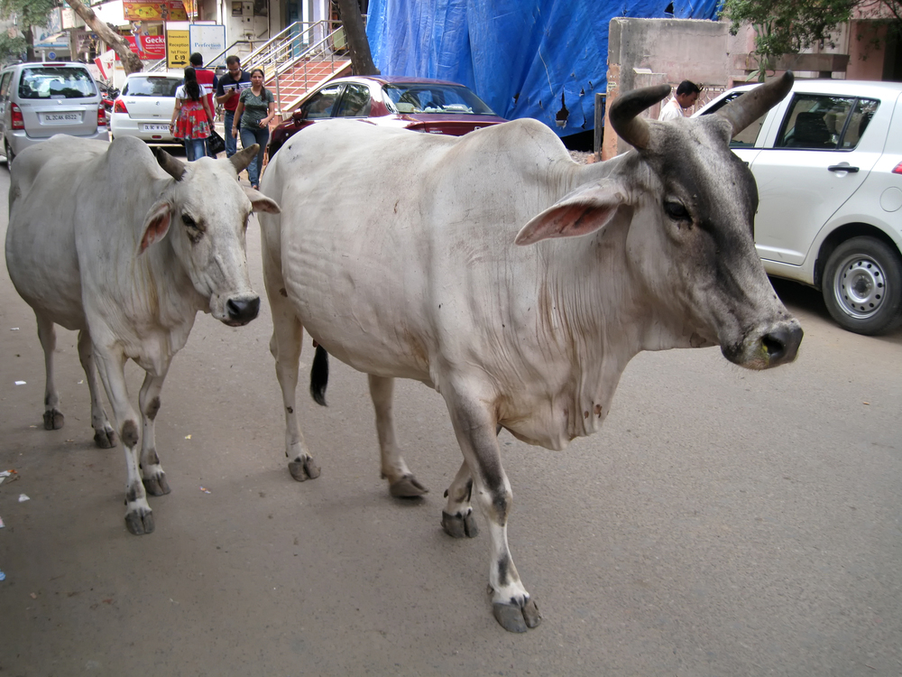 Cows on a road in Delhi
