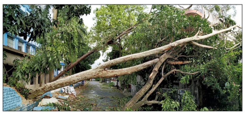A Eucalyptus tree that fell in BK Block after the Amphan cyclone