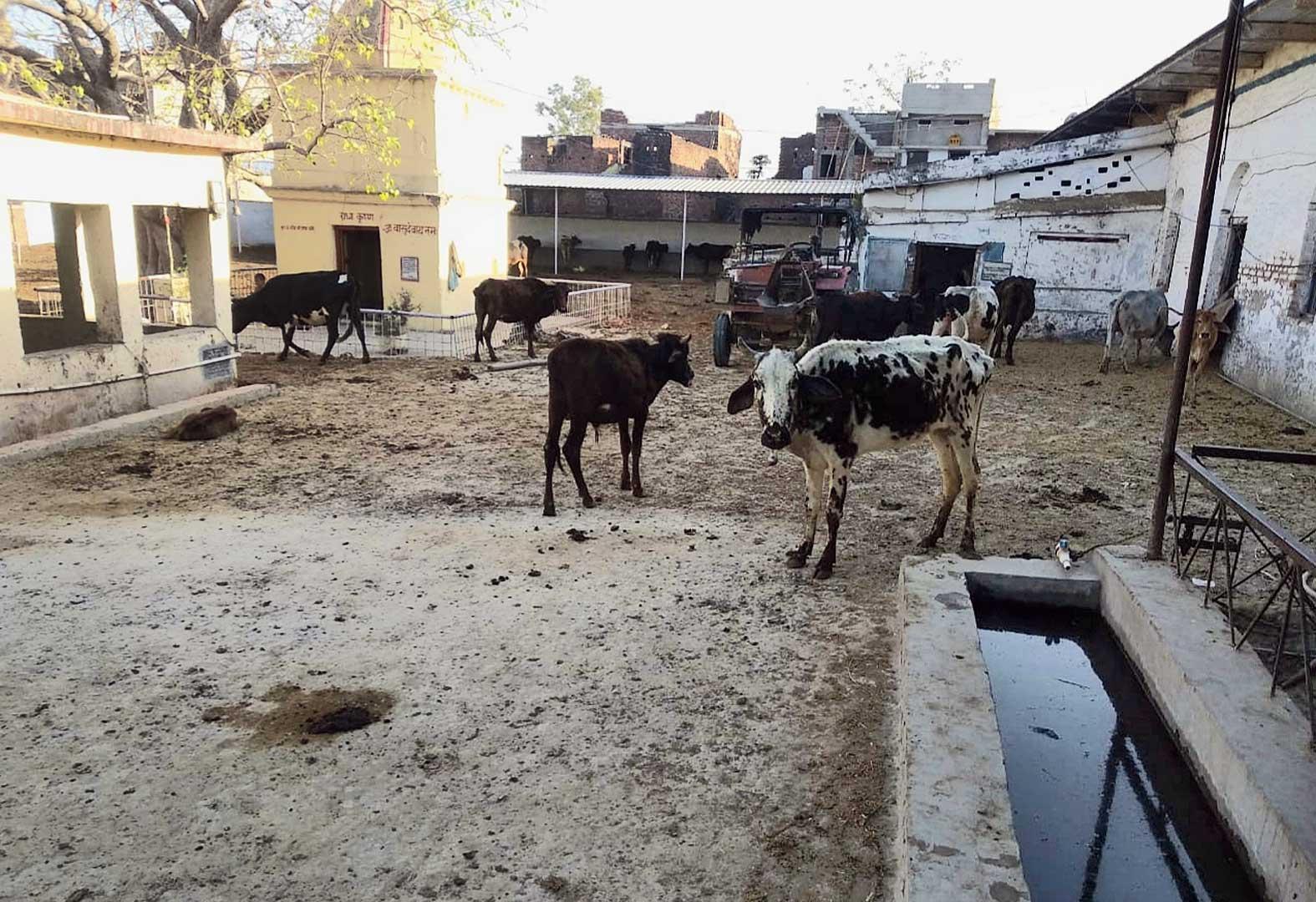 The Sri Krishna Goshala in Jehanabad where 17 cows died.