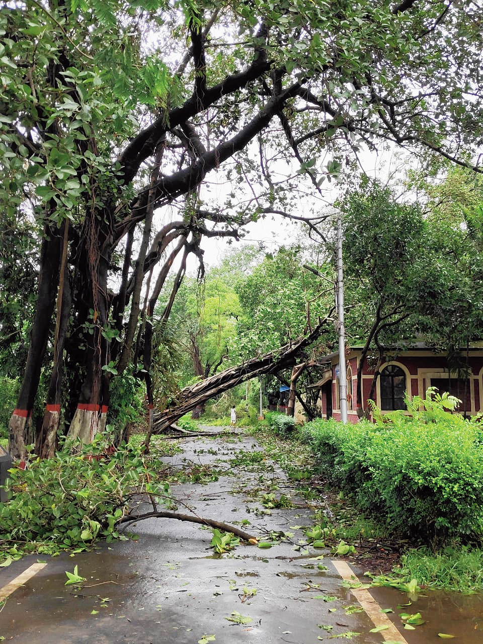 Trees that were uprooted with a considerable chunk of soil attached to the roots and have remained so for the past 12 days are easier to restore, according to the horticulturists' team.