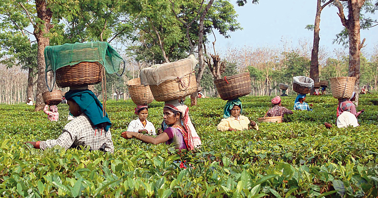 Assam tea workers. There are 2.48 crore beneficiaries in Assam under the National Food Security Act for whom the state needs 1.35 lakh tonnes of rice every month.