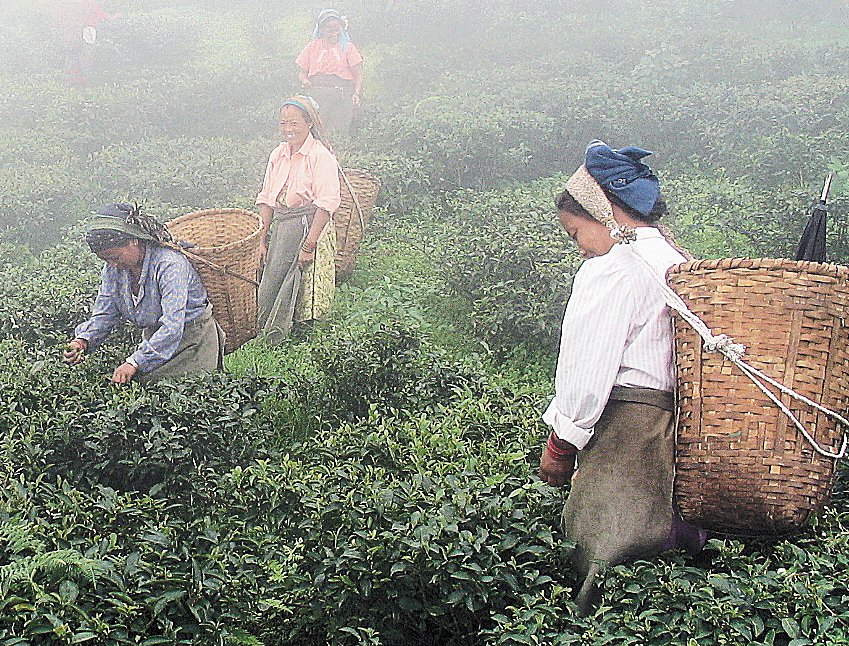 The Darjeeling tea industry has 55,000 permanent workers and 15,000 temporary labourers. Nearly 60 per cent of the labourers are women.