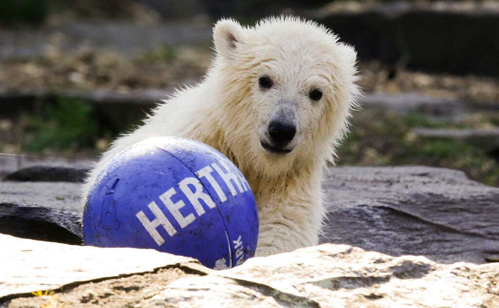 The polar bear cub Hertha plays with a ball of soccer club Hertha BSC, after the announcement of her name, at the Tierpark zoo in Berlin, on April 2, 2019.