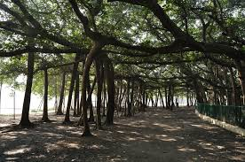 The Acharya Jagadish Chandra Bose Indian Botanic Garden in Howrah is divided into 25 divisions and grows 1,400 varieties of plants. Its total green population is 17,000