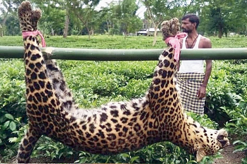 The leopard carcass.