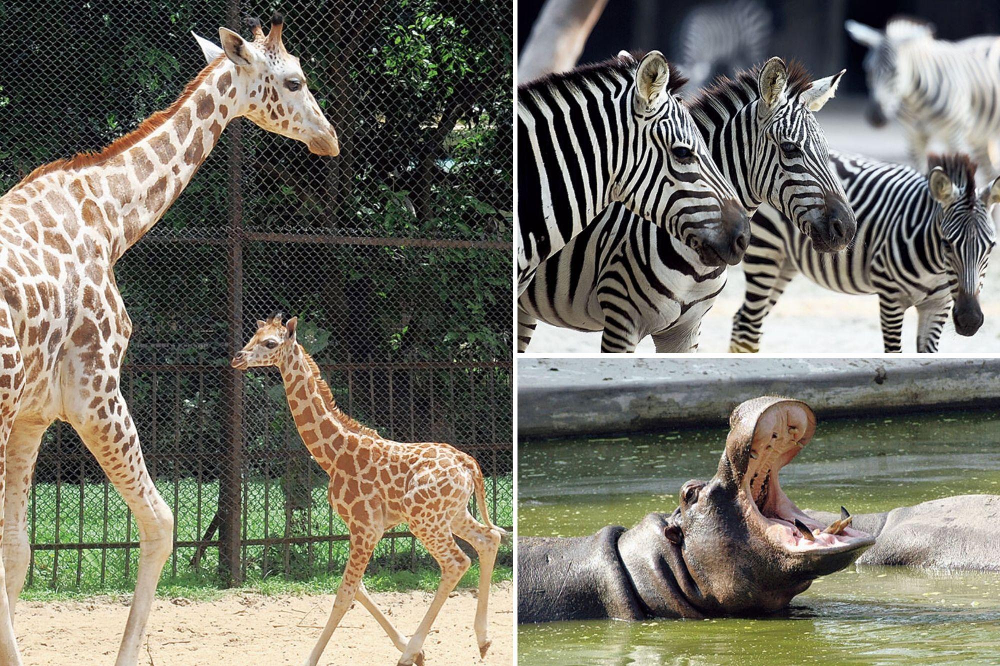 Zebras, hippopotamuses and giraffes at the Alipore Zoological Gardens