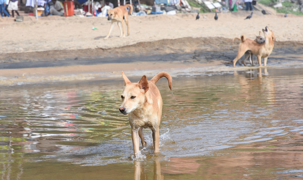Stray dogs at Varkala beach in Thiruvananthapuram, Kerala. Only six people have survived rabies in India since 2010. Thus the country has seen its share of anti-dog sentiments, evident in the dog-culling campaigns in Kerala and in Sitapur, Uttar Pradesh