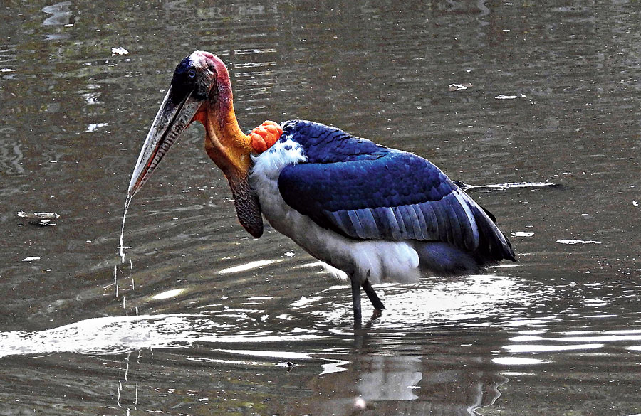 Greater Adjutant: Not spotted in the city in several decades