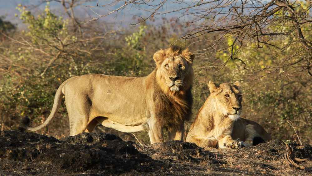 The onus is now on the government and wildlife officials to ensure the safe relocation of the big cats — Kuno has asked for just two prides of lions to begin with — and their subsequent protection.