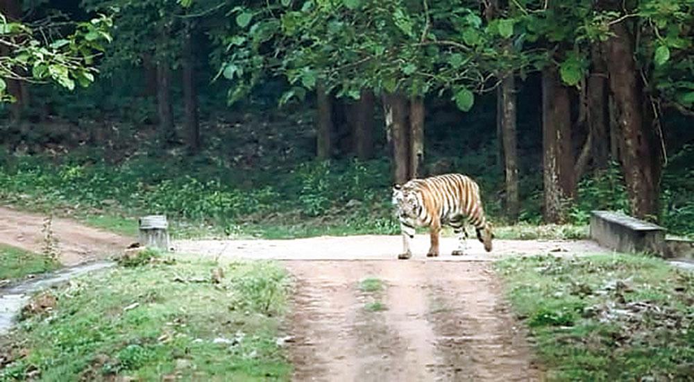 On the prowl: File picture of Sundari at Satkosia Tiger Reserve
