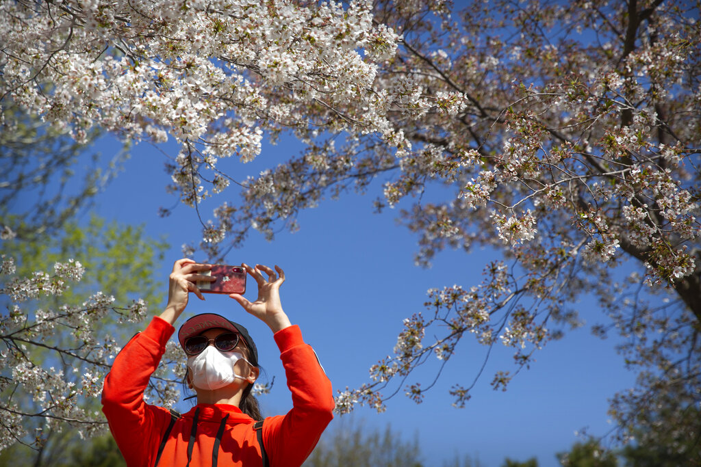 A woman wears a face mask to protect against the spread of coronavirus as she takes a photo of blossoms at Yuyuantan Park in Beijing, Friday, April 3, 2020.
