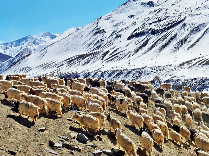 Tsering's flock of 300 sheep and goats