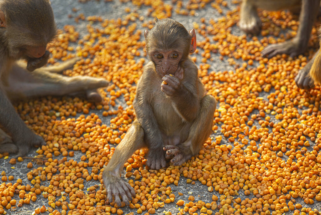 Monkeys eat lentils distributed by social workers near a temple during nationwide lockdown in Gauhati, on Thursday, April 23, 2020.