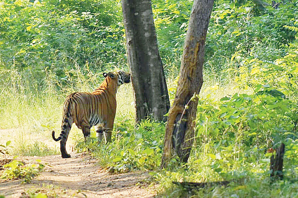 A particularly large tigress cat-walks by