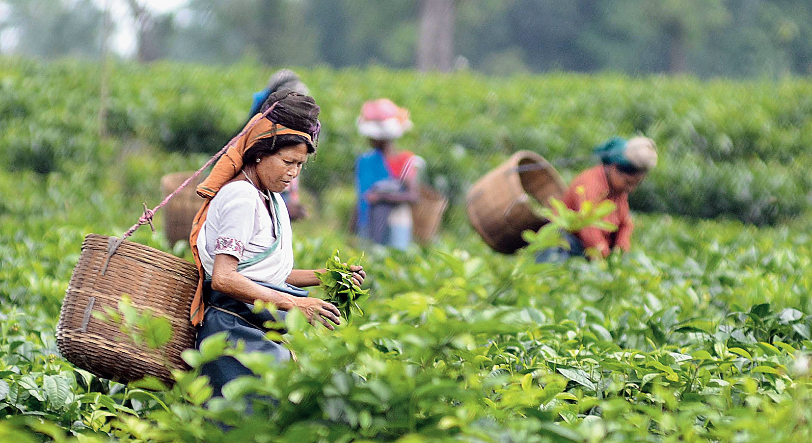 Workers pluck leaves at a tea garden in Assam.