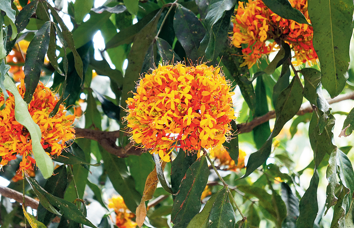 Red and yellow flowers of an Ashok tree