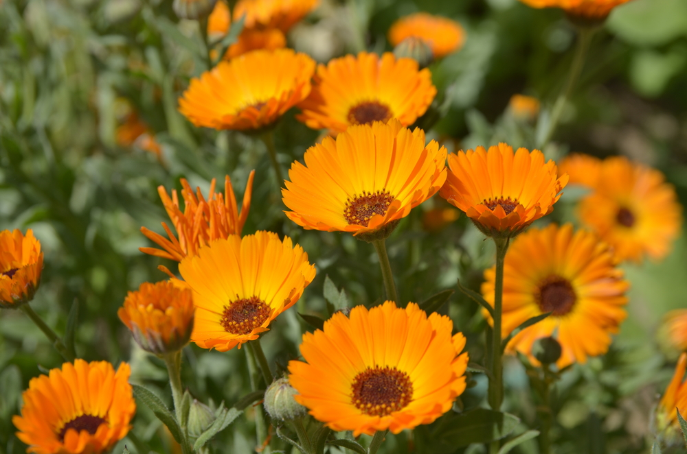 Calendula (Pot Marigold):  The flowers vary from a straw colour to deep orange. This single or double flowering plant is useful for bedding, potting and make for great window dressing in shallow troughs or window boxes.