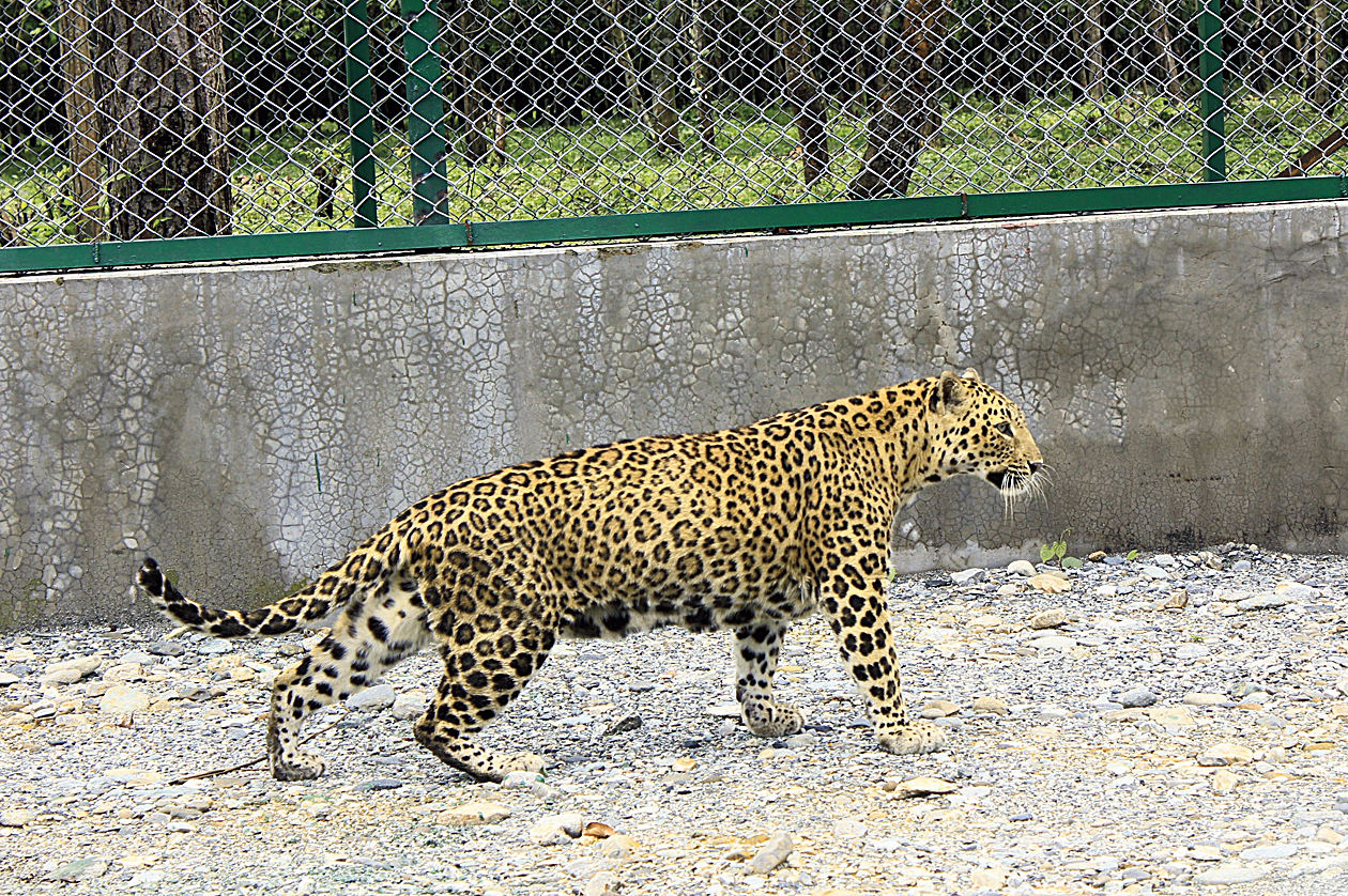 A leopard at the Bengal Safari Park. There is no indication that this animal was involved in the attack.