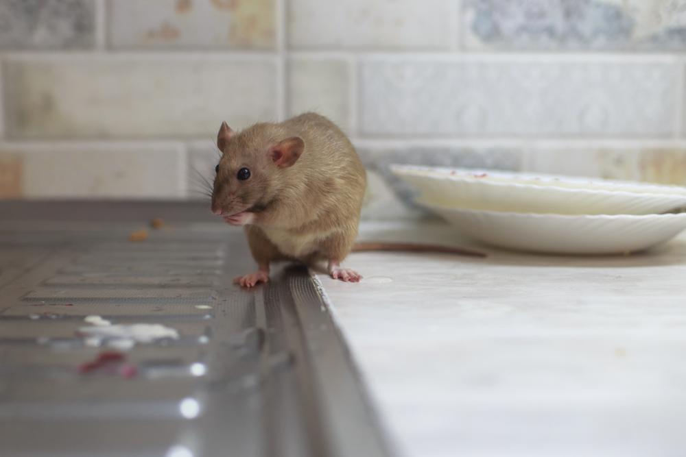 A rat hunts for food