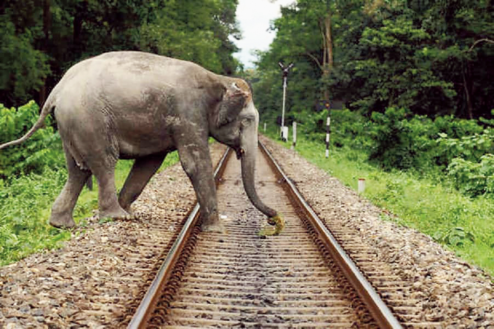 An elephant crosses railway tracks that run through Buxa Tiger Reserve in north Bengal