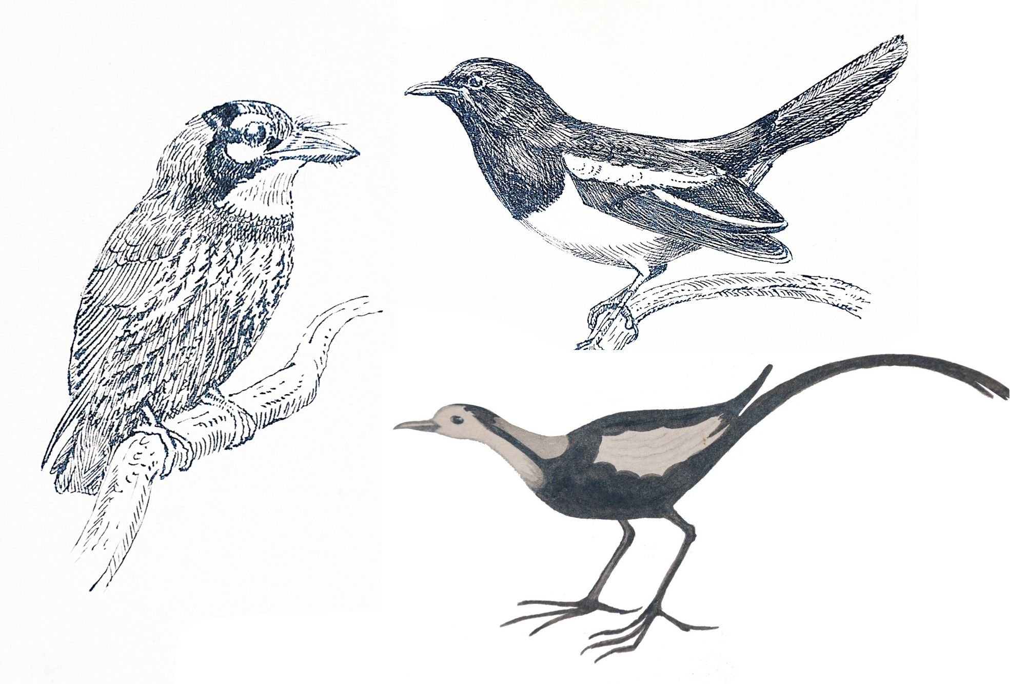 10 instalments and black-and-white illustrations commissioned by Sen Gupta, but not used earlier, have been put together by Gautam Sengupta, son of this naturalist, in a book titled Birds Around Santiniketan recently published by Bolpur-based Birutjatio Sahitya Sammilani.
