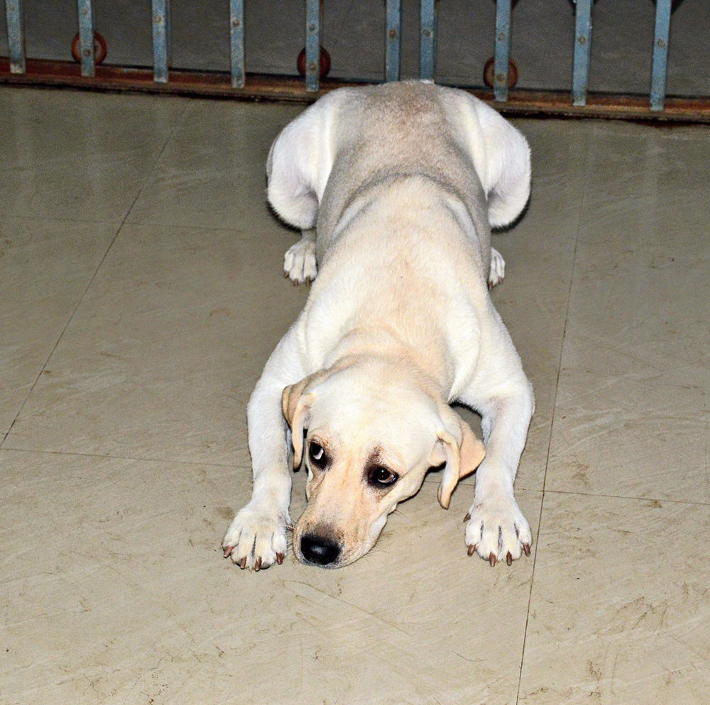 """Jhor, an in-house female Labrador, obeys the """"down"""" command"""