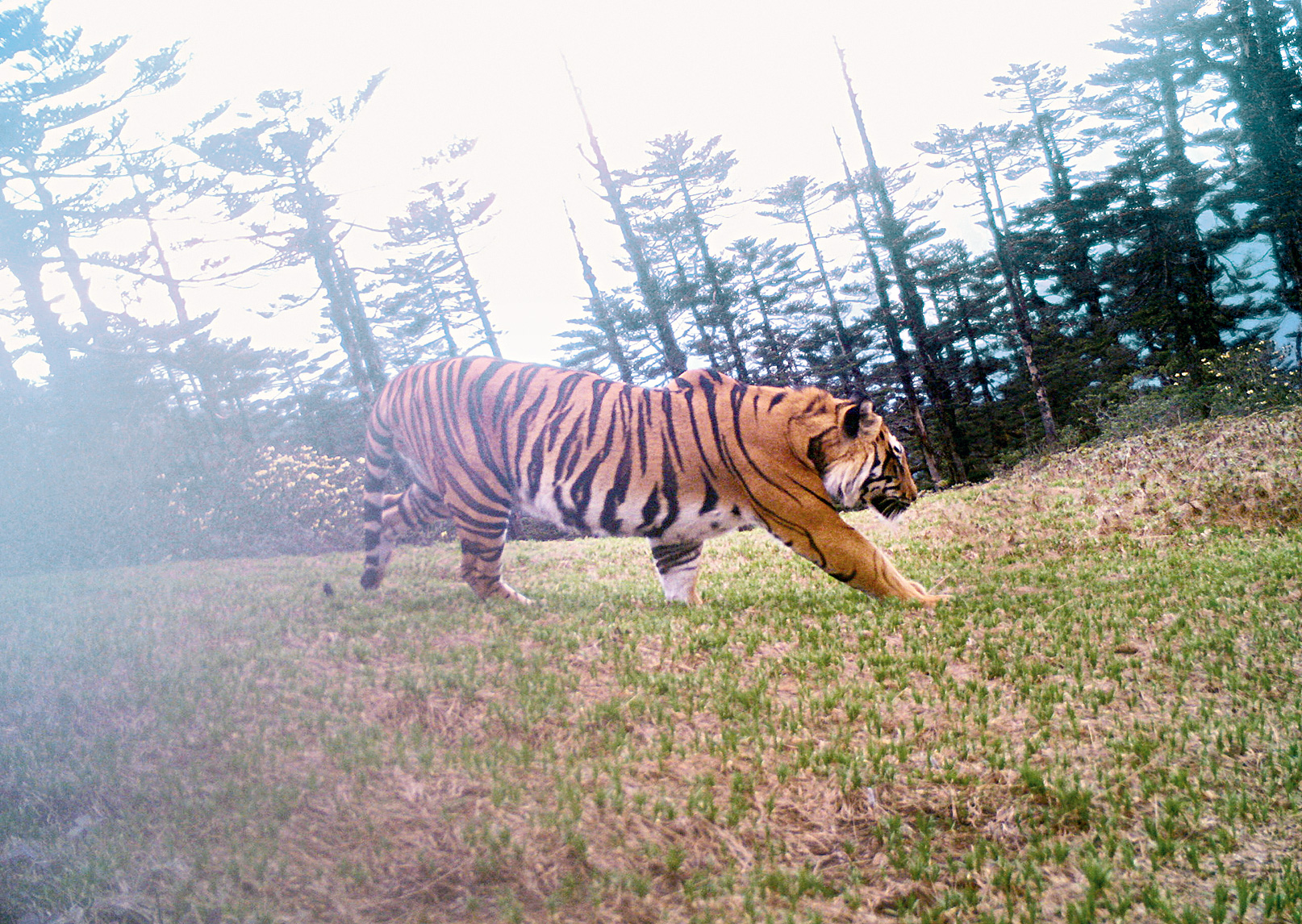 A tiger camera-trapped in Dibang Valley in Arunachal Pradesh.