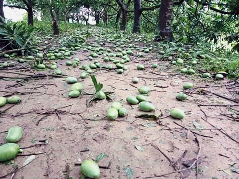 Mangoes fallen in Cyclone Amphan in Malda district