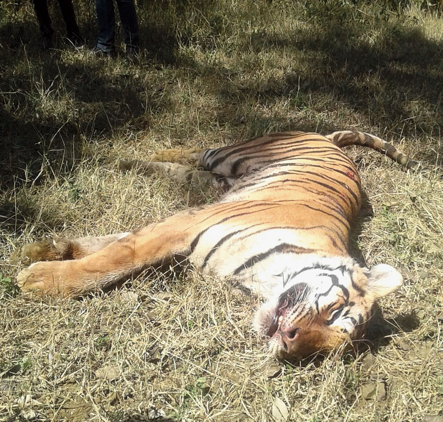 The carcass of the tigress on Sunday