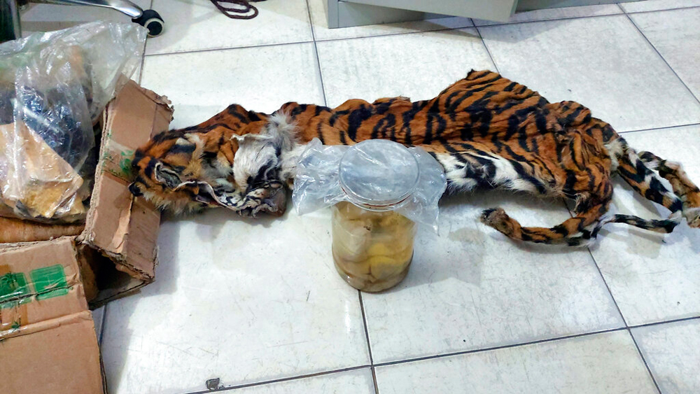 The skin of a Sumatran tiger and foetuses stored in jars in Indonesia