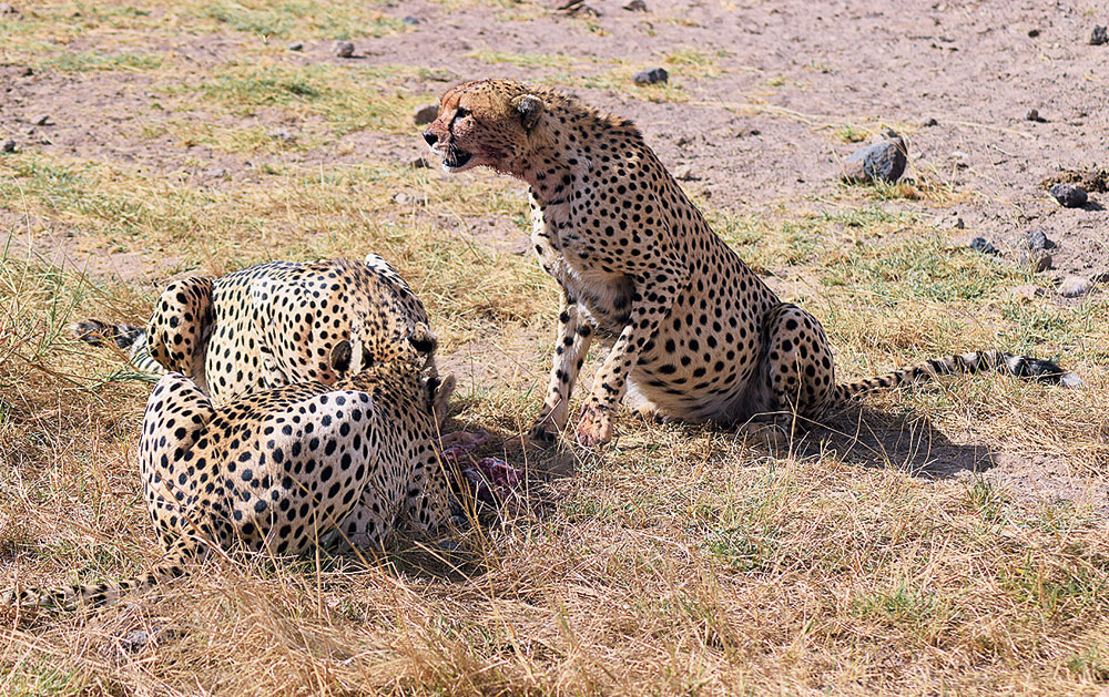 A mother and her two cubs had killed a gazelle.